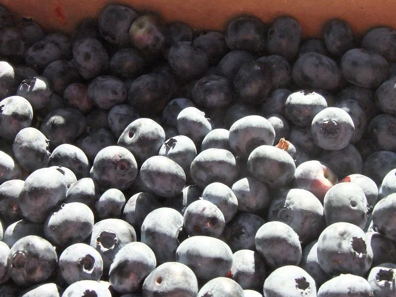 photo 1 bleuets (002)